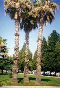Три пальмы Адлер